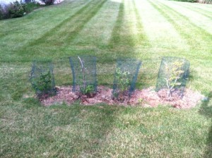 Some of my blueberry bushes used as shrubs